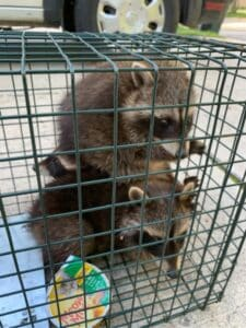 two baby raccoons in a hava hart trap