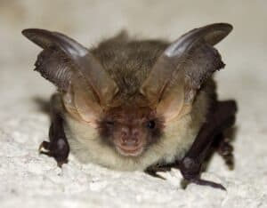 tiny bat big ears