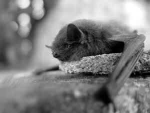 lil black bat